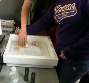 Student putting eggs in incubator
